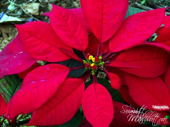 Lovely Poinsettias at Star Bugs Cafe
