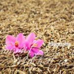 Cumin Seeds for Immunity
