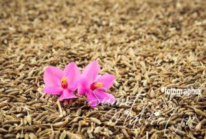 Cumin Seeds for Immunity