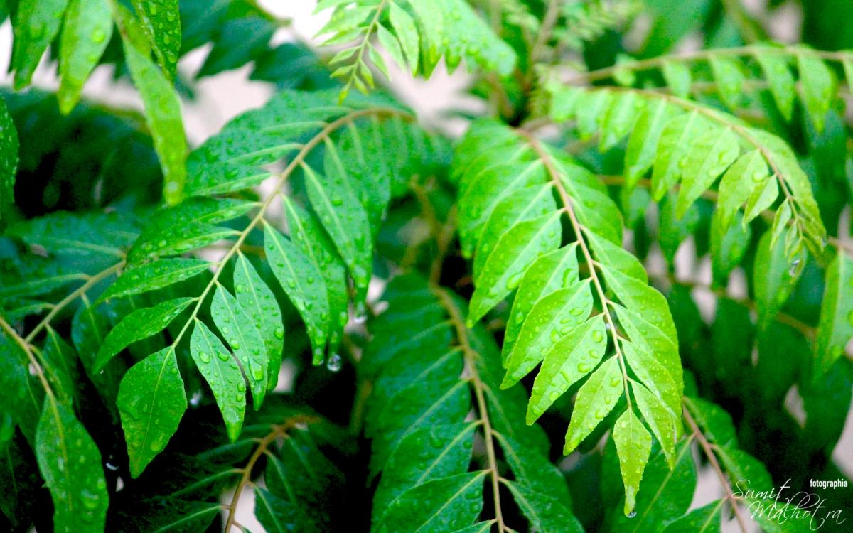 Health Benefits of Curry Leaves | Super Curry Patta Benefits