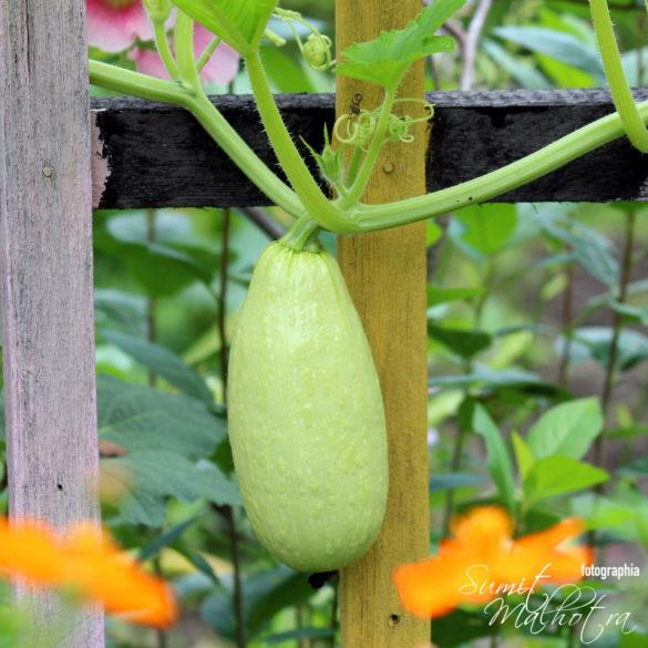 Health Benefits of Lauki or Health Benefits of Bottle Gourd