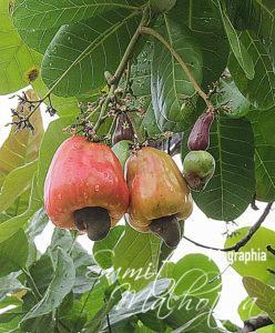 Cashew Apple & Cashew Nut (Anacardium occidentale )