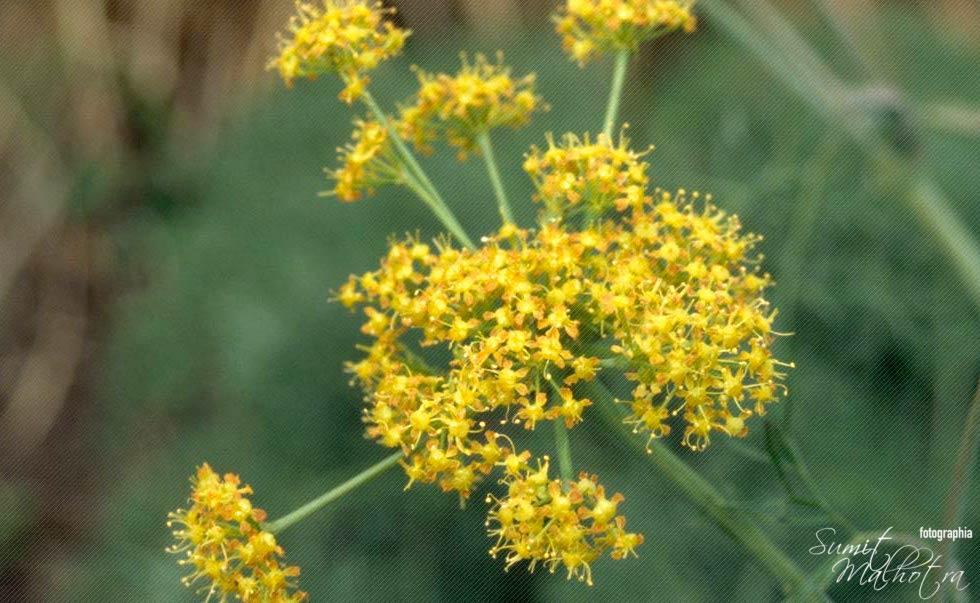 Ferula asafoetida also known as Asafoetida, Heeng or Hing