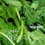 Spinach Leaves for Spinach Sauce or Spinach Gravy