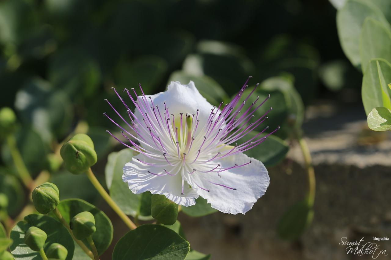 Caper Bush Flower   Capers