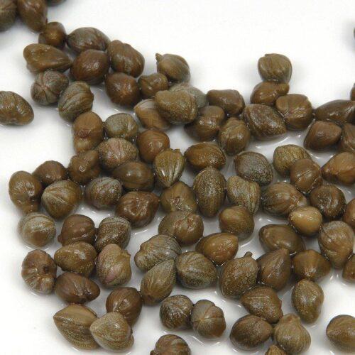 Capers   Mullukattari   Flinders Rose   Caper Bush (Capparis spinosa)