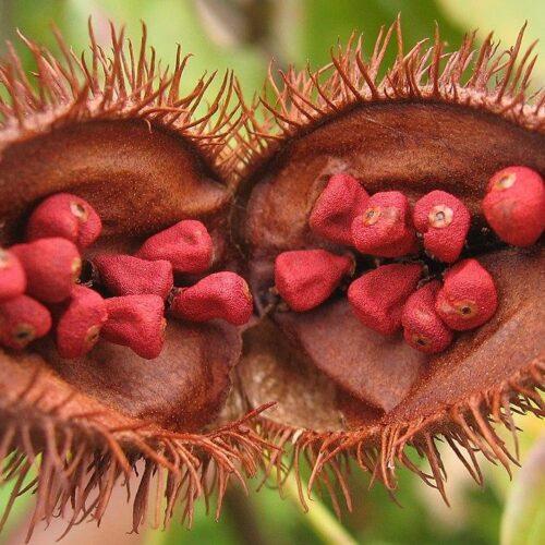 All about achiote | know your spice annatto (bixa orellana)