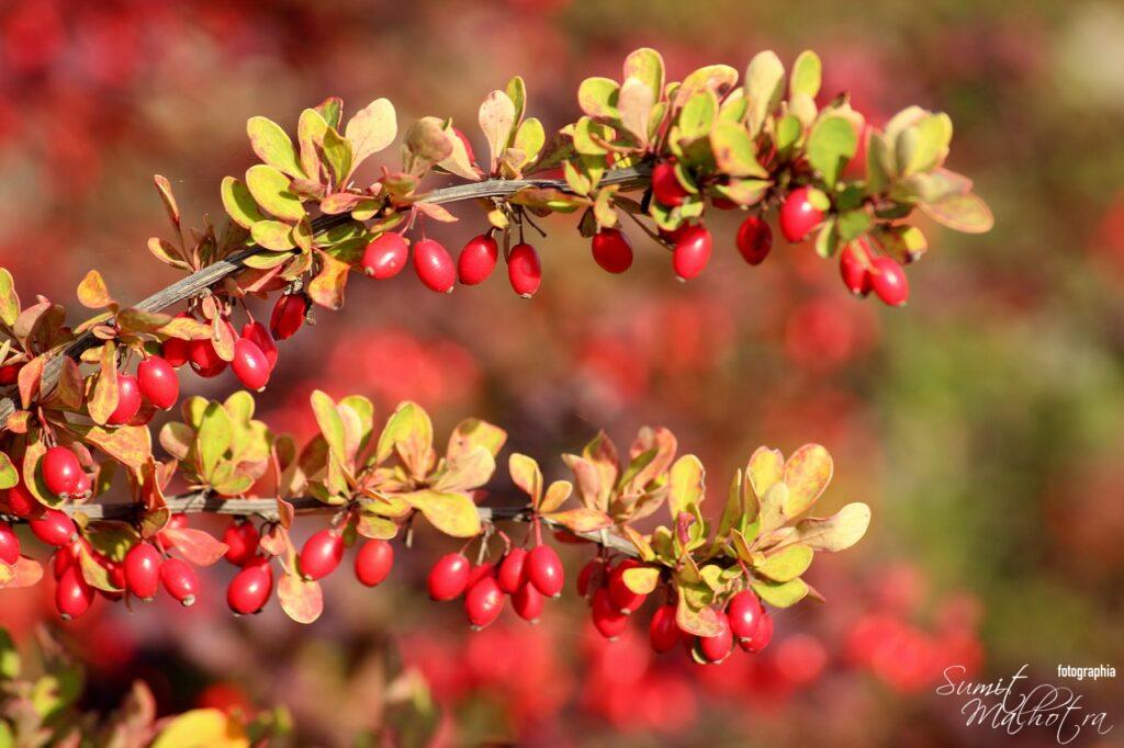 All About Barberry or Zereshk | Know Your Spice Barberry (Berberis vulgaris)