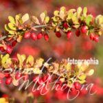 All About Barberry or Zereshk | Know Your Spice Barberry (Analgesic Spices)