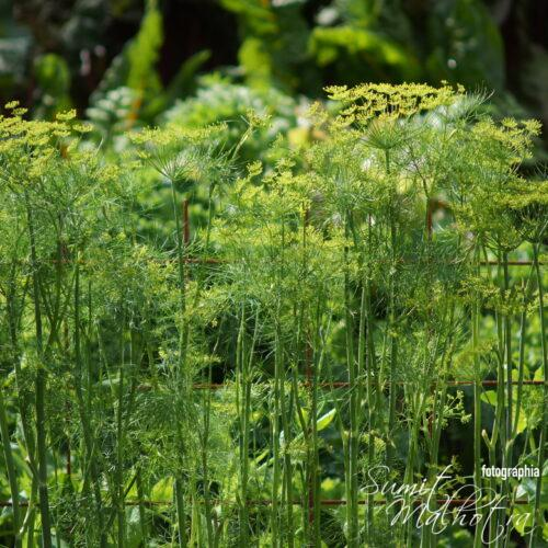 All About Dill | Know Your Spice Sowa or Soya (Anethum graveolens)