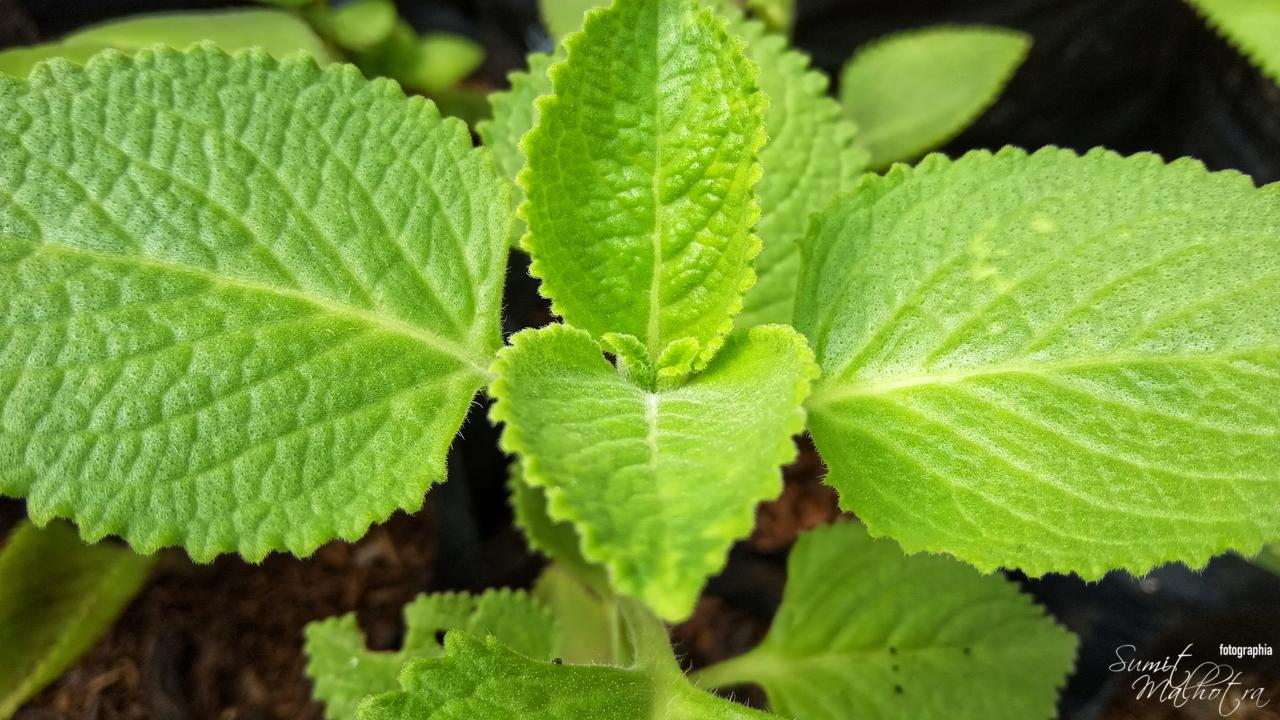 All About Mint | Know Your Spice Pudina (Mentha piperita)