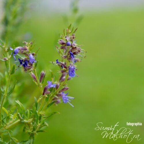 All About Hyssop | Know Your Spice Jupha (Hyssopus officinalis)