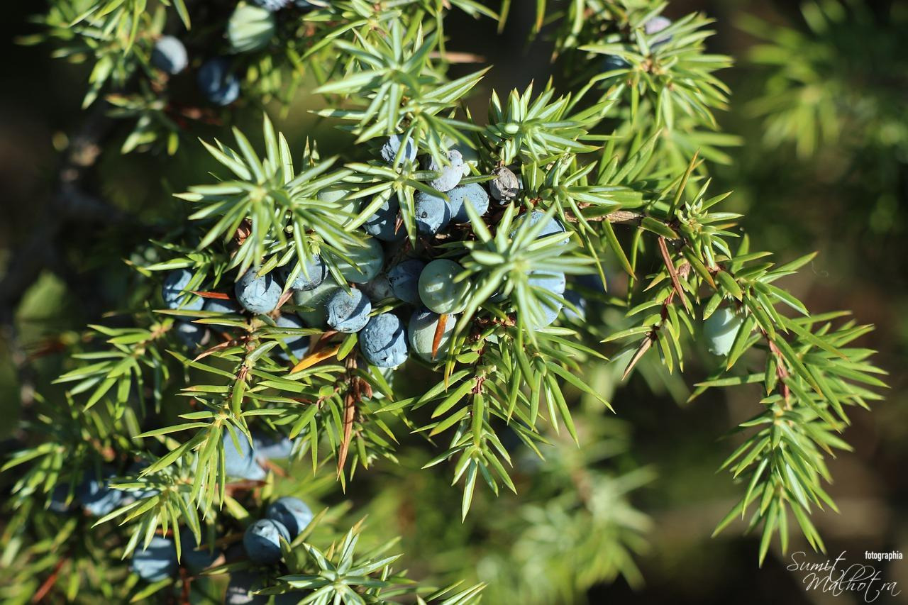 All About Juniper Berry | Know Your Spice Aaraar (Juniperus communis)