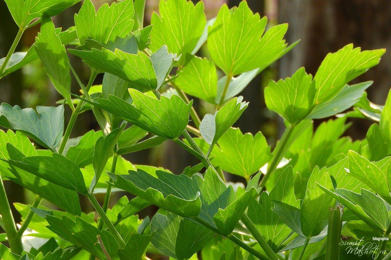 All About Lovage | Know Your Spice Lovage (Levisticum officinale)