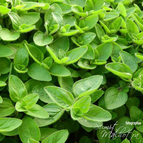 All About Marjoram | Know Your Spice Marwa (Majorana hortensis)