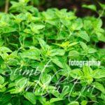 All About Oregano | Know Your Spice Sathra or Ajwain Ki Patti (Origanum vulgare)