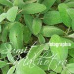 All About Sage | Know Your Spice Salvia (Salvia officinalis)