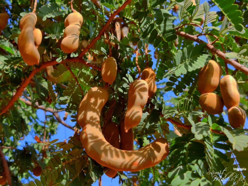 All About Tamarind | Know Your Spice Imli (Tamarindus indica L.)