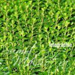 All About Thyme | Know Your Spice Ajagandha (Thymus vulgaris)