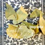 Indian Bay Leaf, Tejpatta (Cinnamomum tamala)